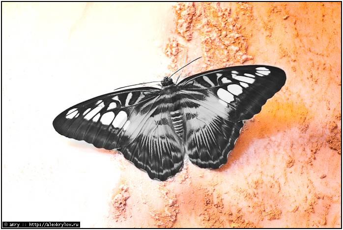 Ночная бабочка