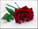 [+] Увеличить - Роза на снегу