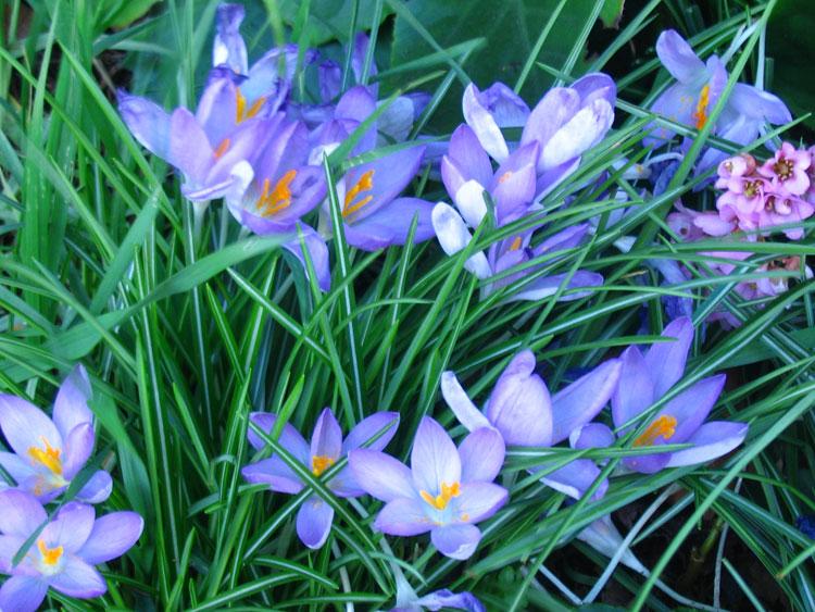 Картинки цветы подснежники 6