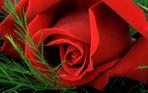 [+] Увеличить - Алая роза