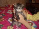 [+] Увеличить - Персидские кошки и котята www.zaitsev.cn