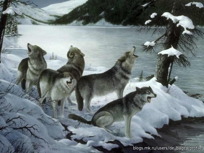 ищу стаю и друзей! черная волчица Никити.  19:03:48.