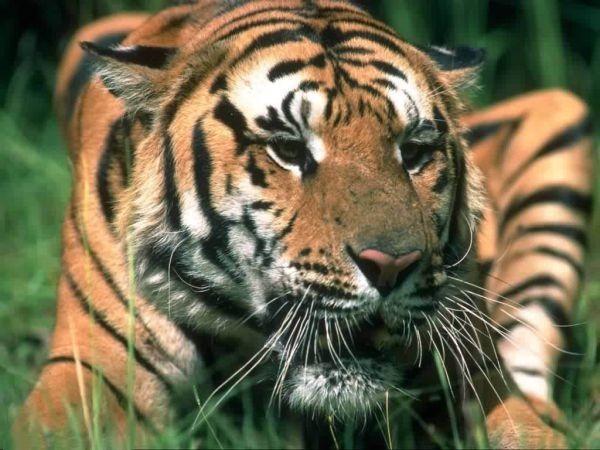 Wild cat - дикие и красивые.
