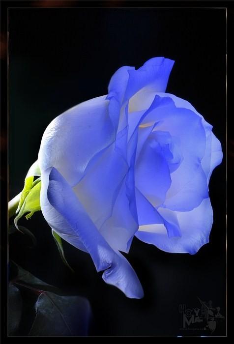 Розы. Светографика HoryMa