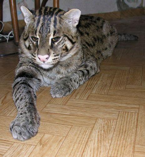 Что такое Виверовый кот