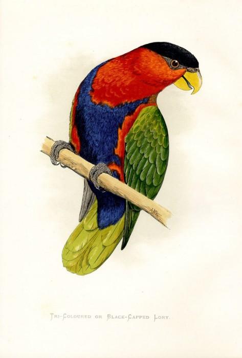 Kasparas.  81 картинка с нарисованными попугаями 1884 г. + бонус 28 картинок с нарисованными птицами 1743 г. и 1862 г...