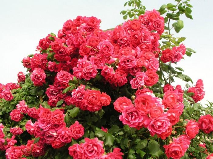 Пол скарлет. плетистая роза