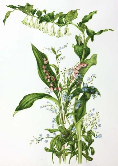 Convallaria majalis 'Rosea',Myosotis scorpioides, Polygonatum commutatum