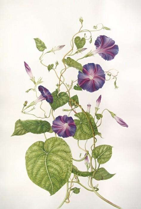 Ipomoea purpura