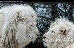 Посмотреть все фотографии серии белые львы