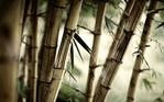 [+] Увеличить - Бамбук