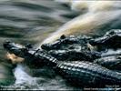 [+] Увеличить - Крокодилы