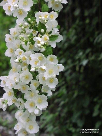 Жасмин имеет среди всех цветов, растущих на нашей планете, наиболее интенсивный цветочный аромат. Этот выразительный теплый, сладкий запах с чайной нотой успокаивает и восстанавливает эмоциональную стабильность в ситуациях чрезмерного возбуждения и наруше