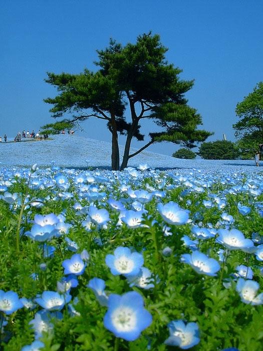 В буквальном переводе с японского Hitachi означает «рассвет». Японский национальный приморский парк Хитачи (Hitachi Seaside Park) расположен в префектуре Ибараки на о.Хонсю. Не так давно на месте парка были американские военные базы, земли которых в 1973