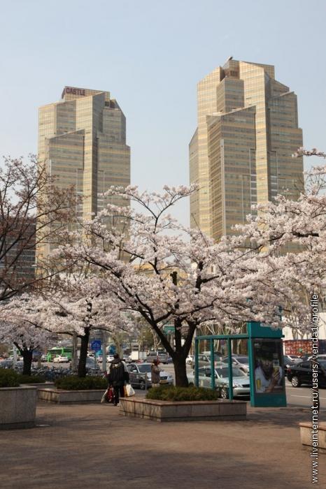 По-колено в вишневом цвете стоят небоскребы.