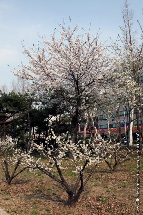 На переднем плане - цветет киви.