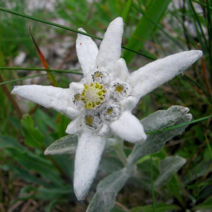 Картинки цветок эдельвейс 5