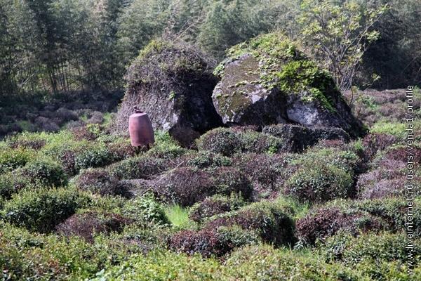 Конечно, эти чайные плантации являются декоративными, в каком-то смысле.