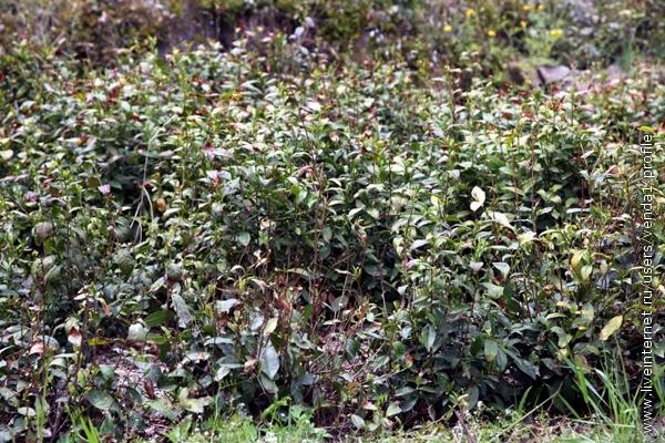 У дороги - плантации молодых чайных кустов.