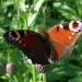 А вот и сама красавица - бабочка Павлиний глаз.