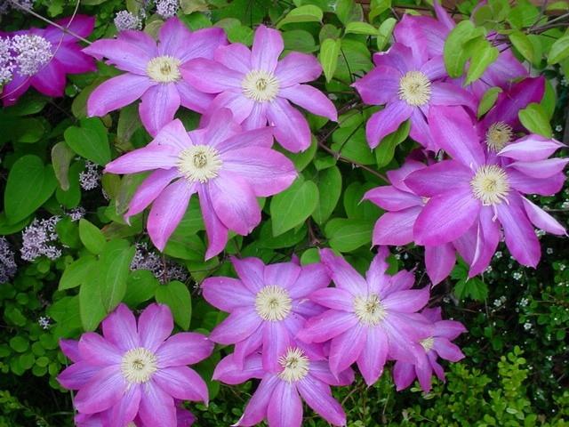 """Клематис в переводе с греческого означает  """"плеть """".  Это многолетняя лиана, распространенная во всем мире."""