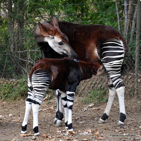 Удивительный животный мир богат на сюрпризы. Один из самых редких его видов носит имя окапи (лат. Okapia johnstoni). Кто он, лошадь, антилопа, зебра? Нет, дорогие читатели. Окапи-лесной жираф! Животное имеет очень необычный вид