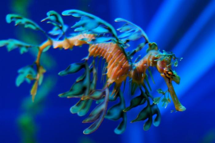 Еще один удивительный его обитатель Лиственный морской дракон. На первый взгляд, даже странно, что это существо относится не к растительному миру. Это рыба. Морская рыба. Вот уж действительно – удивительное рядом.