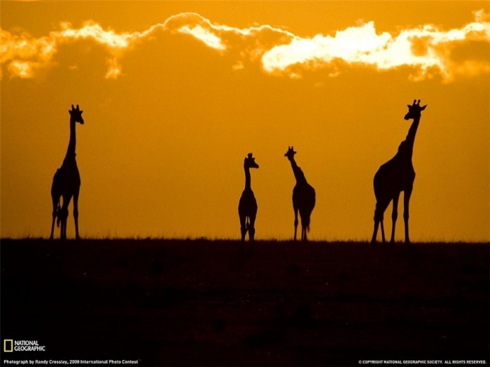 Giraffes at sunset in the park Masam Mara Kenya.