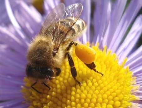 Цветочная пыльца содержит практически все вещества, необходимые для нормального развития человеческого организма, в том числе белок, содержащий все десять незаменимых аминокислот (аргинин, валин, гистидин, изолейцин, лейцин, лизин, метионин, треонин, трип