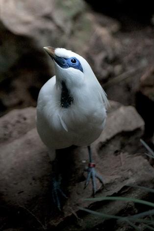 На индонезийском острове Бали обитает всего лишь одна птица, родиной и единственным домом для нее остается именно этот остров. Ей была уготована трагическая роль: фактически исчезнуть с лица Земли.