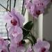 Орхидея. Очень красивая и  любимая! Цветет второй год без перерыва. Я не знала что так бывает!
