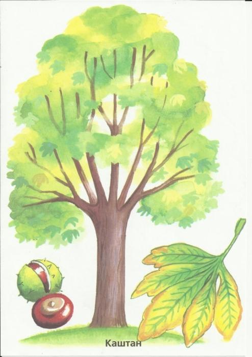 Дерево каштана рисунок