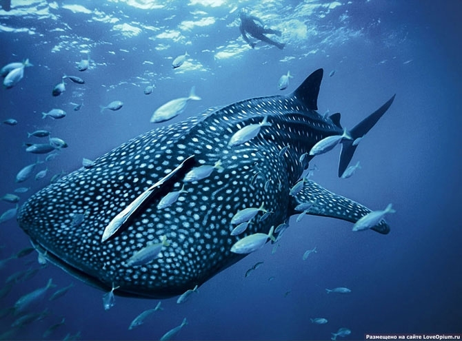 Картинки по слову китовая акула. китовая акула.  Реклама.