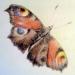 Бабочка с натуры. Цветные карандаши.