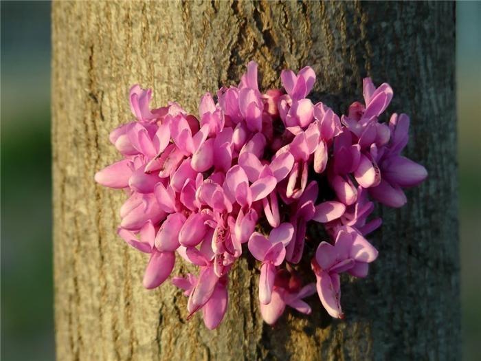 Небольшое раскидистое дерево, вырастающее до 4 – 5 м выс. Годовой прирост ок. 15 см. Ствол покрыт черно –коричневой корой. Листья сердцевидные до 10 см в диаметре, голубовато – зелёные, осенью приобретают жёлтую окраску. Цветки до 2 см длиной, красно – ро