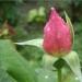 В каплях дождя. Розовый бутон
