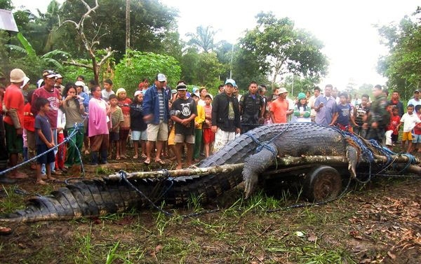 Близ филиппинской деревни Консуэло был пойман огромный крокодил, подозреваемый в нападении на людей. К чести жителей селения, они не убили опасного хищника, а лишь пленили его.