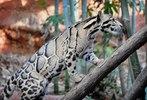[+] Увеличить - Дымчатый леопард