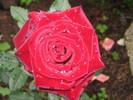 [+] Увеличить - красная роза