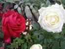 [+] Увеличить - белая и красная розы