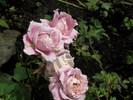 Посмотреть все фотографии серии цветы моей дачи
