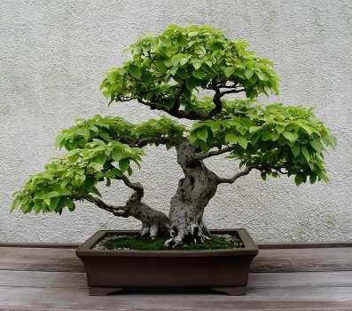 Bonsai blog.  Мир бонсай.