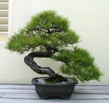 Природа :: Бонсаи и penjing фото 122.