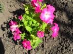 Силой волшебною, силой чудесною эти цветы расцвели... В них сочетались с отрадой небесною грешные чары земли...