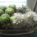 еще кактусы