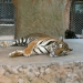 тигр Тайланда