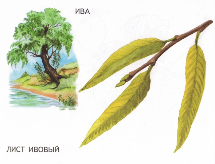 Листья ивы картинка