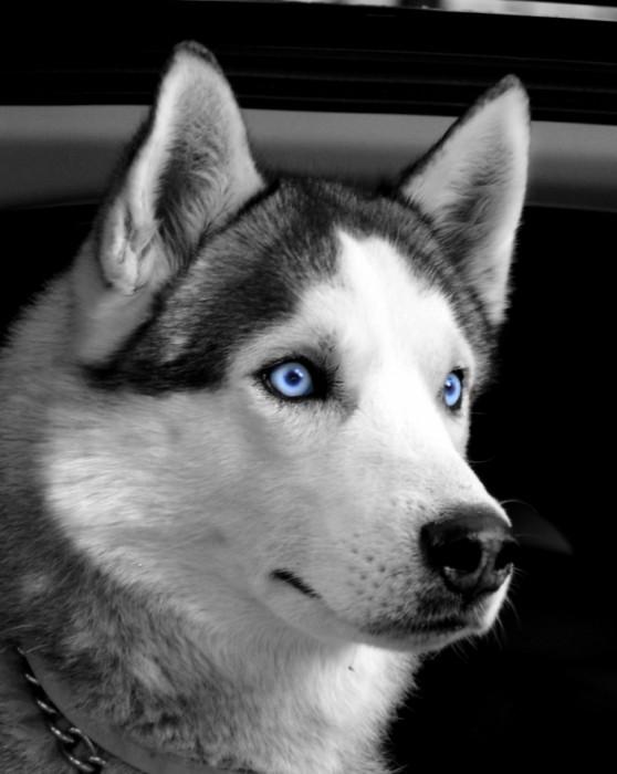 Но затем ему на глаза попалась фотография собаки породы хаски.