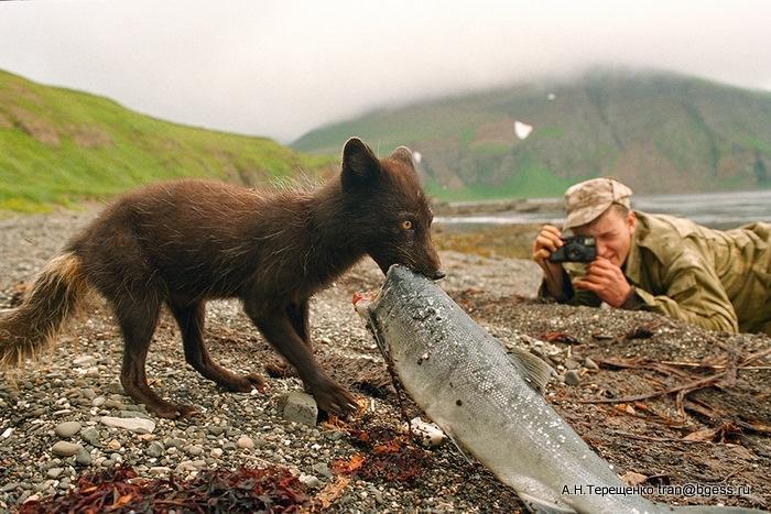 Добытчик - Камчатка. Командорские острова, остров Беринга, август 1998 г.. Песец со своей добычей неркой