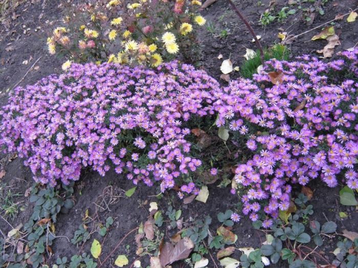 Цветы мороз в моем саду
